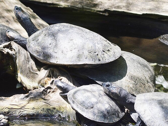 StAugustine_AlligatorFarm_TurtlesandTort02
