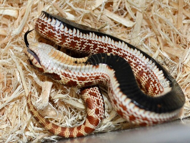 Hognose%20Playing%20Dead%203