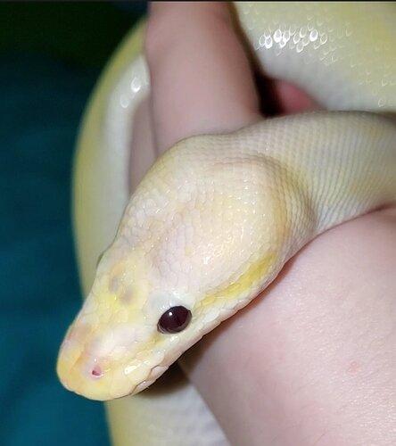 Yellowboi