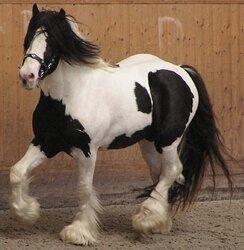 Irish Tinker horse 2