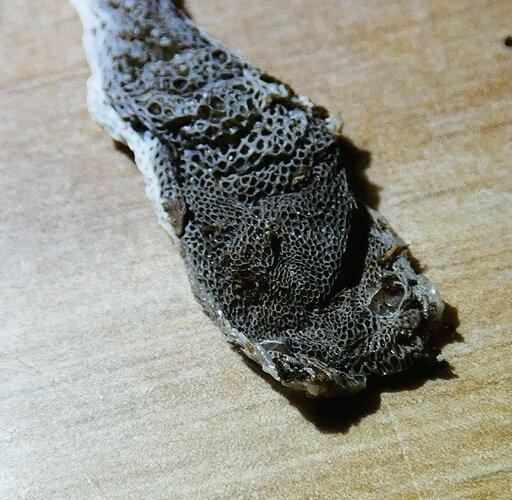 Xenodermus javanicus shed 2