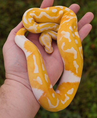 Oct 25 2021 Pastel Dreamsicle Male 1