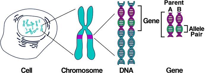 DNA_Allele