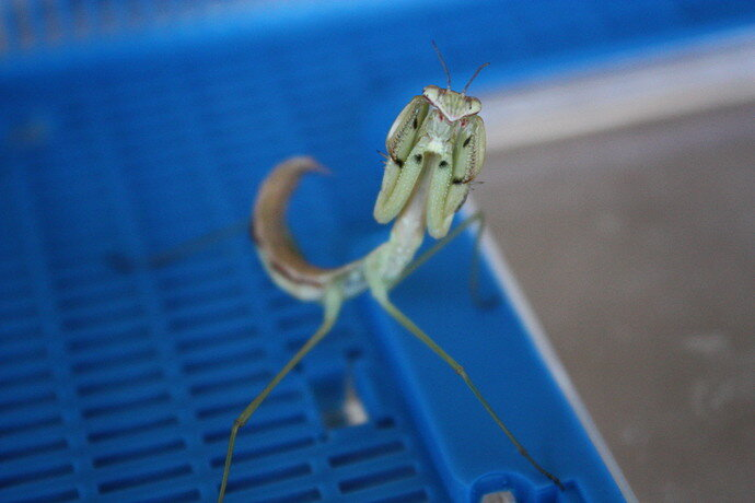 angry_mantis_by_icantthinkofaname_09_d6279vt