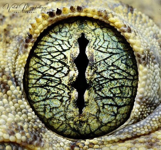 EYE GECKO