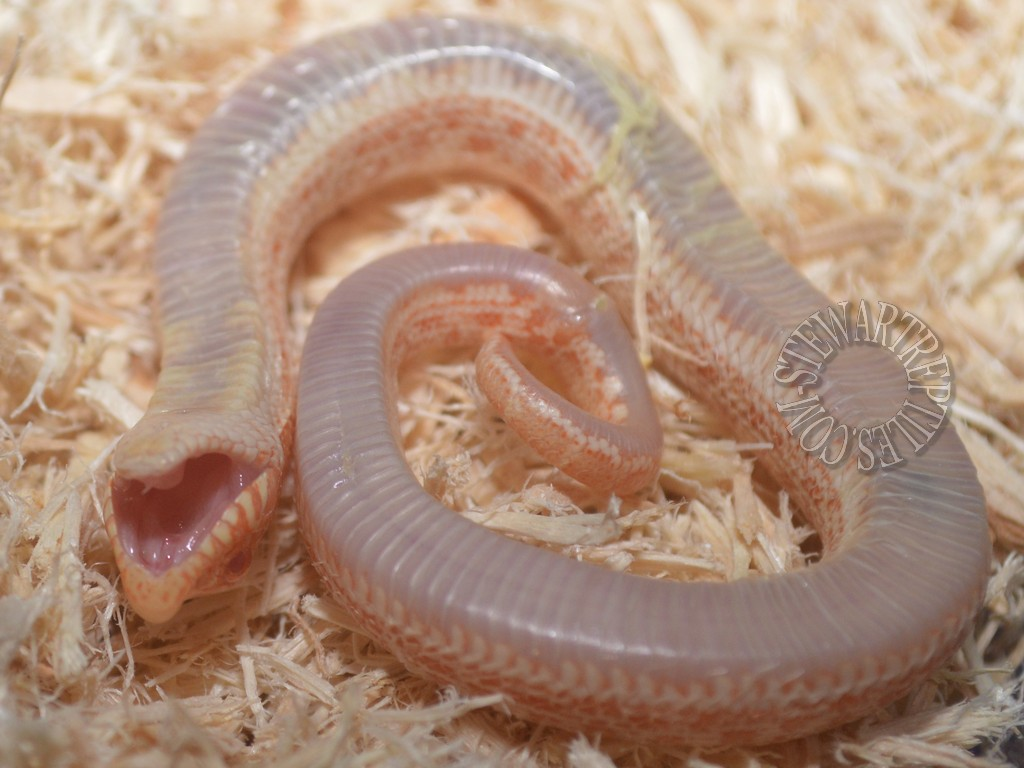 Hognose%20Playing%20Dead%202