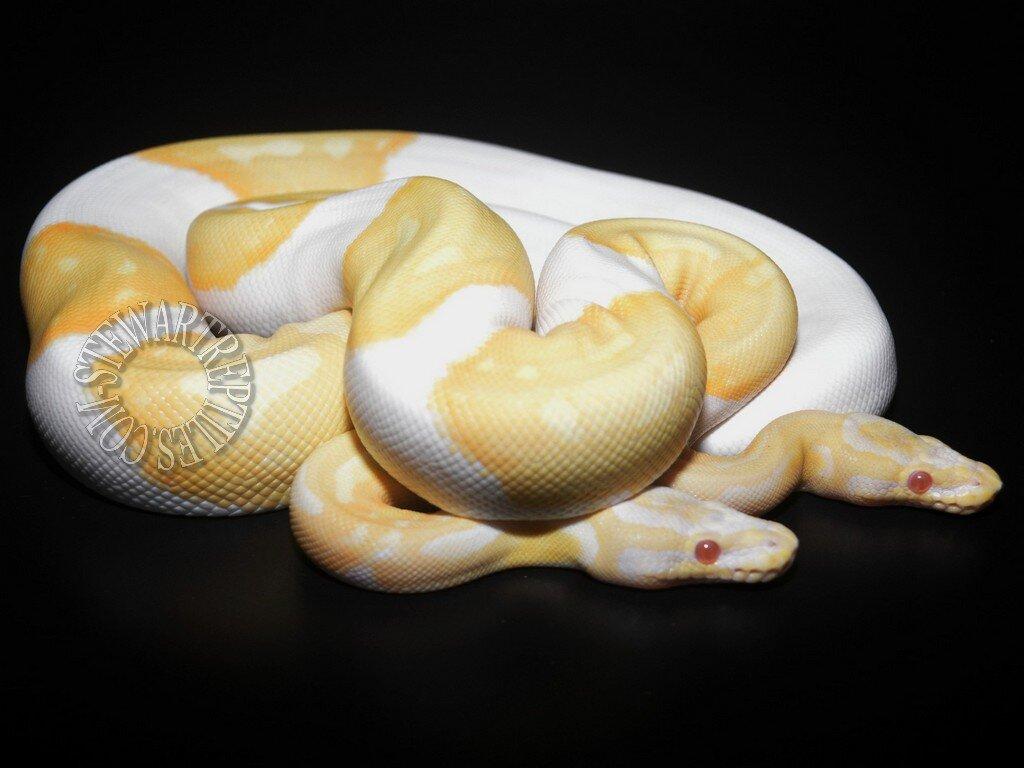 Albino%20Pied