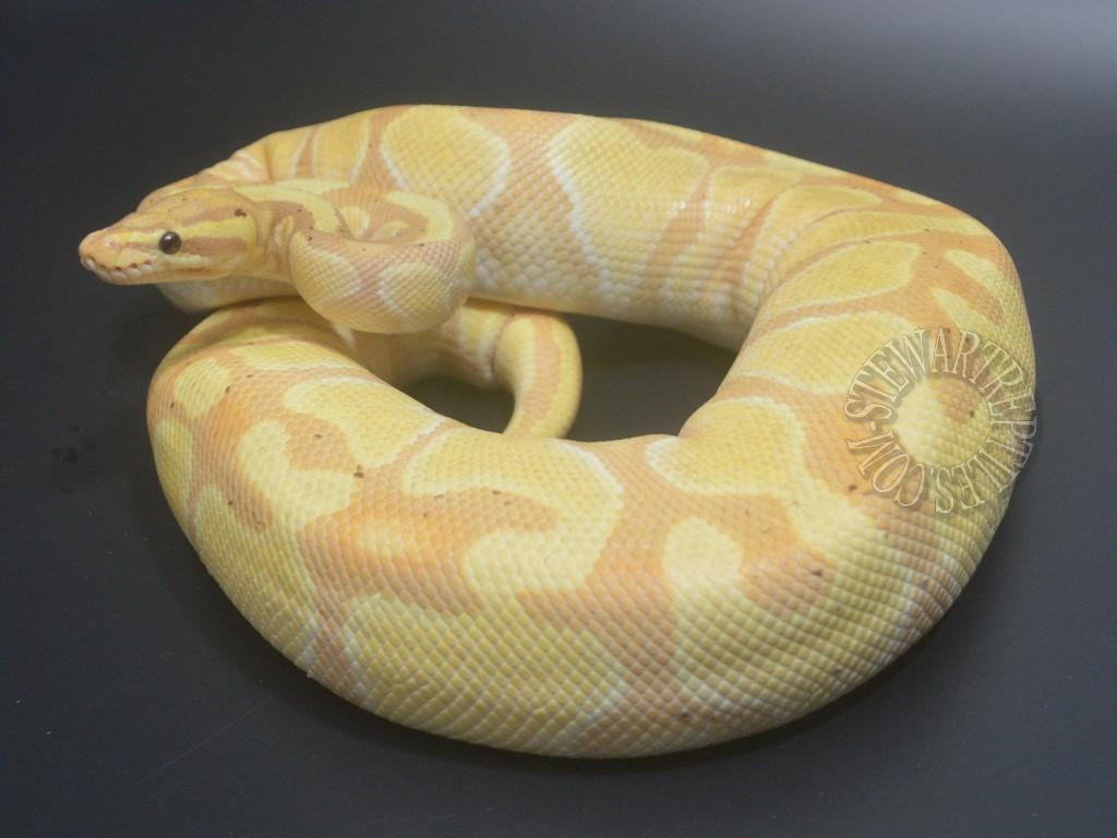 Banana Enchi