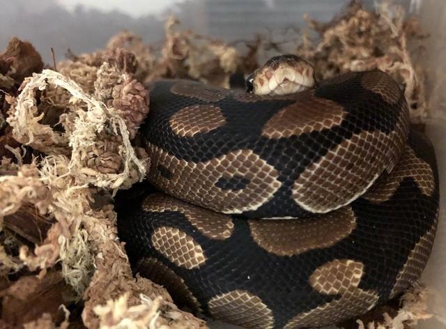 nocturne_reptiles