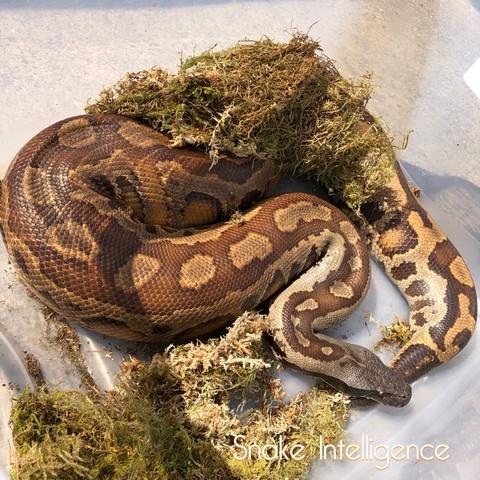snakeintelligence