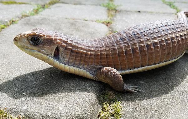 sudan-plated-lizard-large