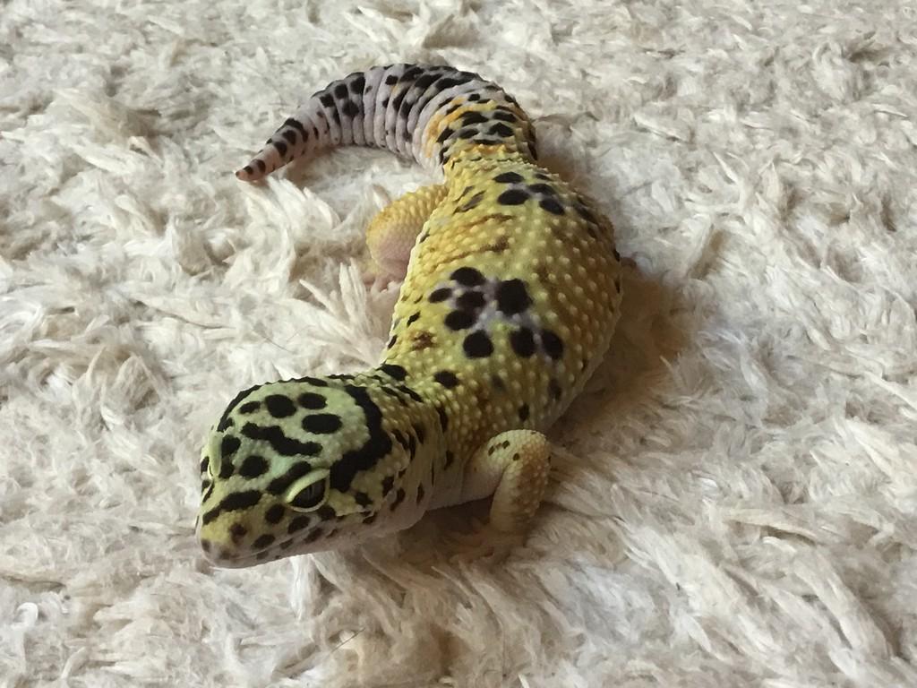 geckodragon