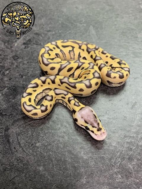 j_ulrich_reptiles