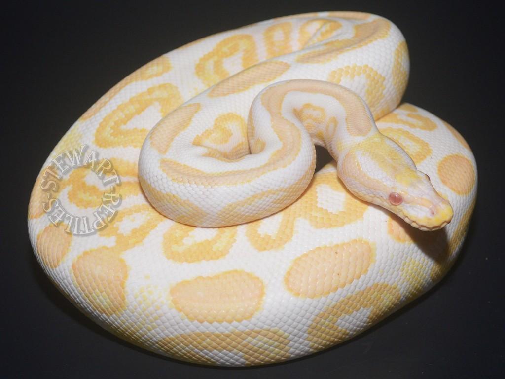 Albino Black Pastel 5