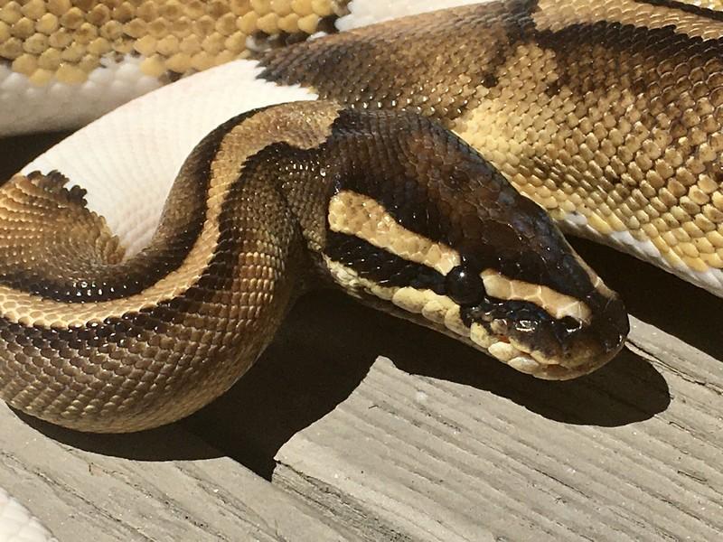 serpentswitch117