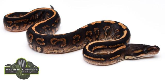 wilder_ball_pythons