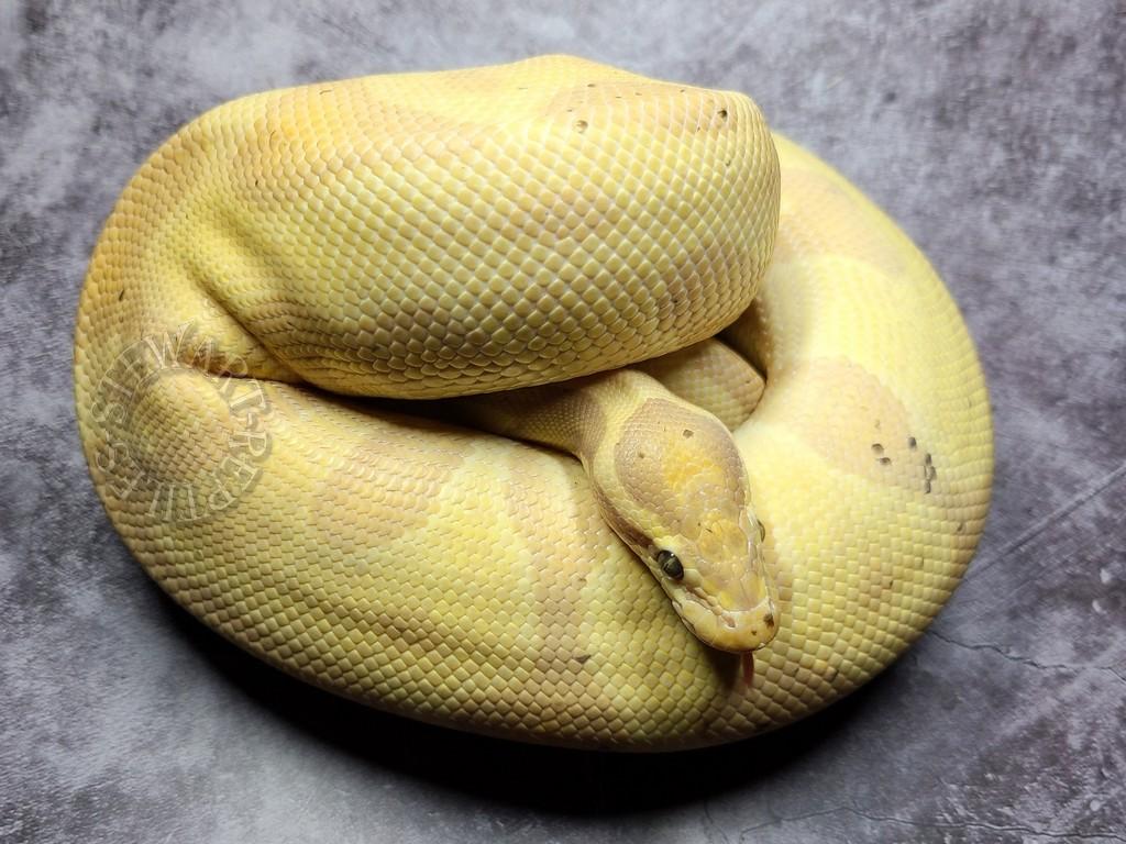 BananaEnchiLeopard