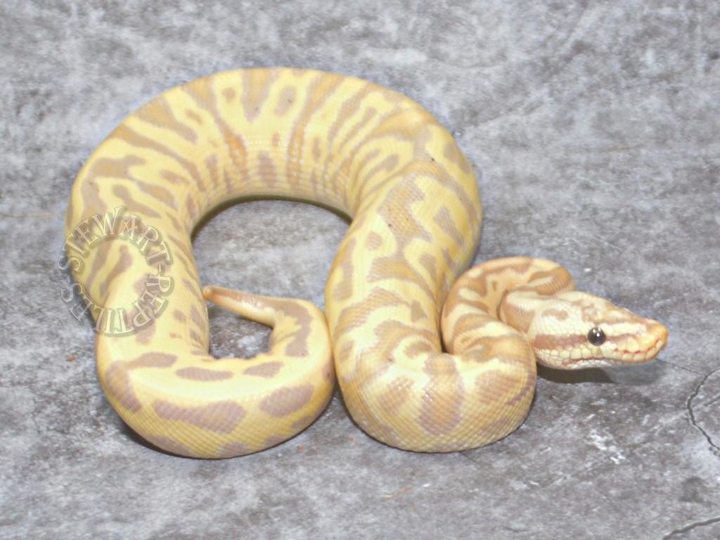 Banana Pastel Leopard YB